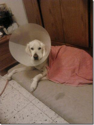 דנגו אחרי הניתוח