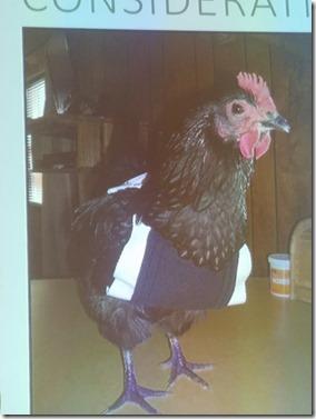 תרנגולת כפרה
